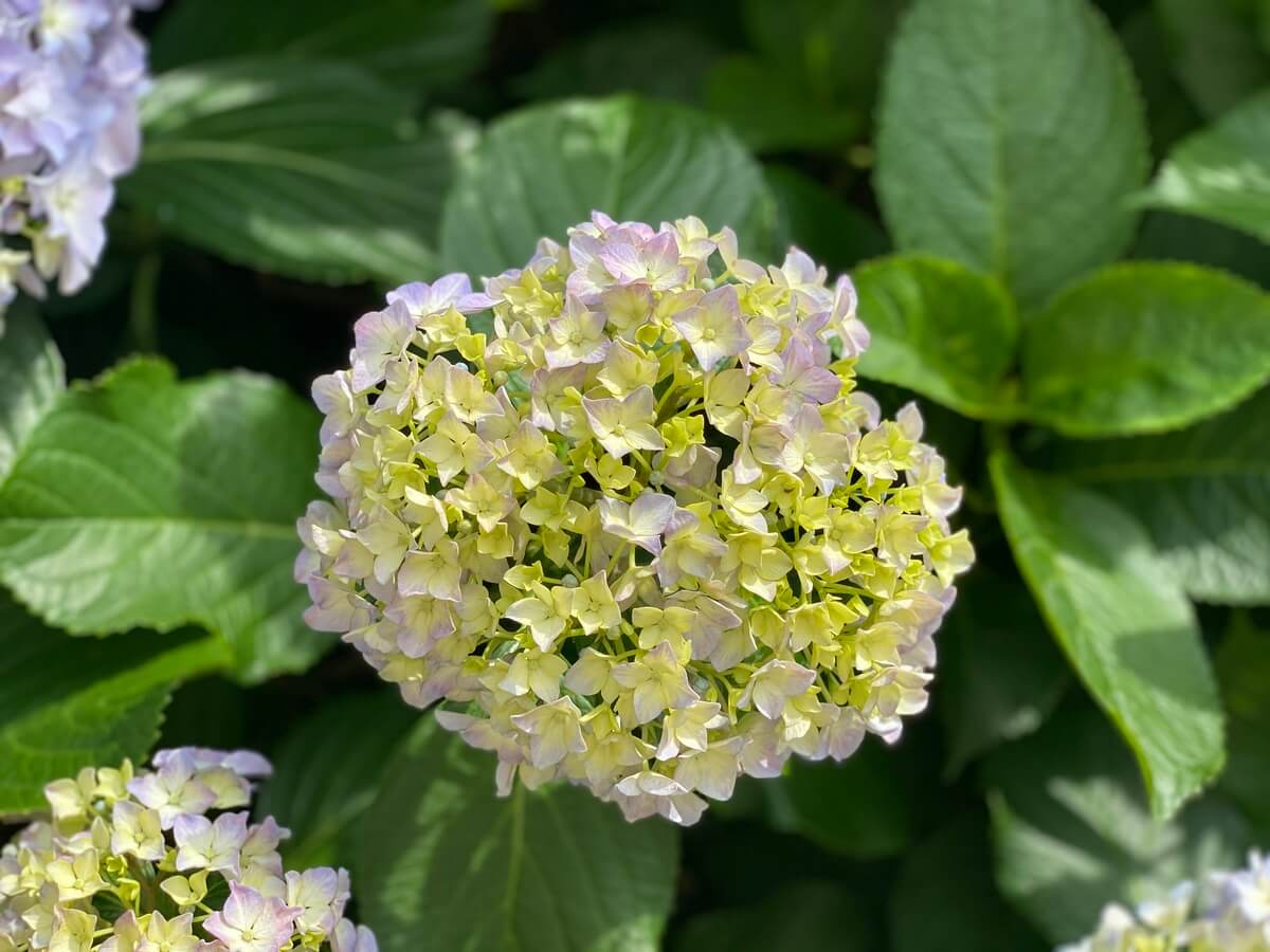 ポートレートモード紫陽花